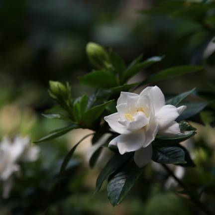 Gardenia x Crown jewel