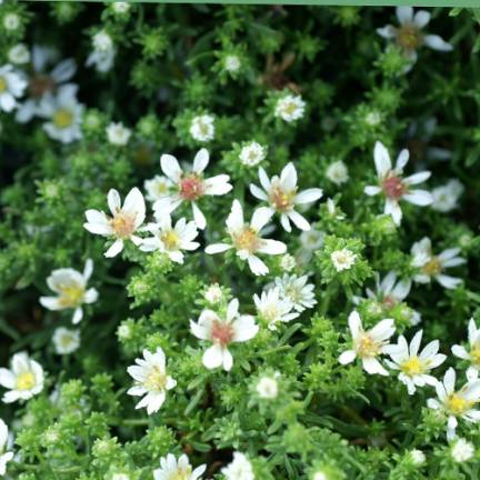 Aster d'automne ericoides Snowflurry