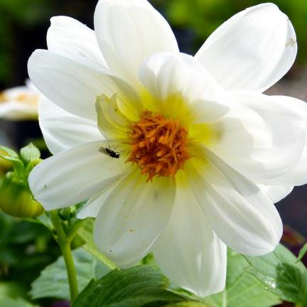 Dahlia nain simple Topmix Blanc