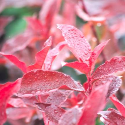 Photinia x fraseri Red Select