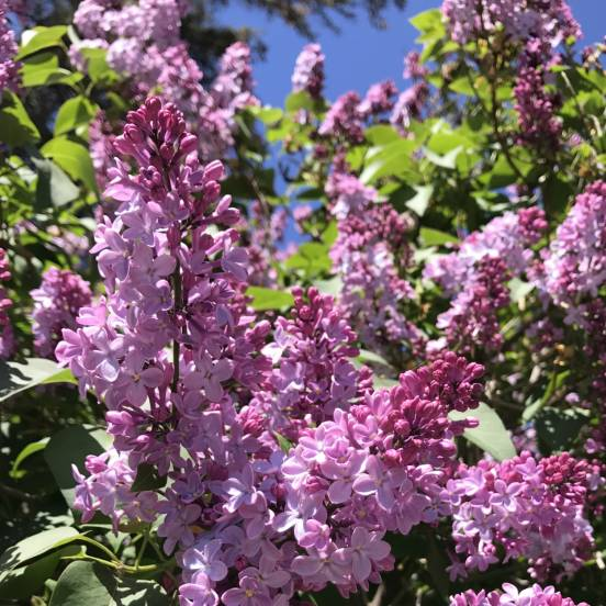 Lilas commun vulgaris Belle de Nancy