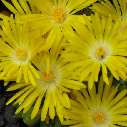 Delosperma x Golden Wonder®