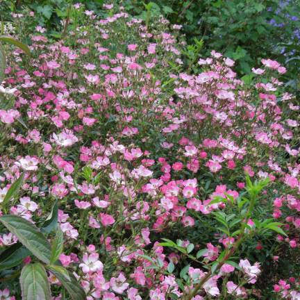 Rosier arbustif Pink Spray® 'Lenspra'
