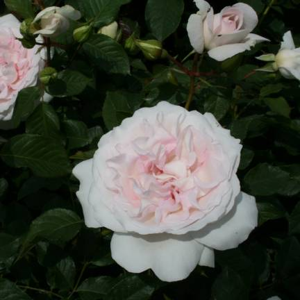 Rosier arbustif Rose Blush® 'Evevic'